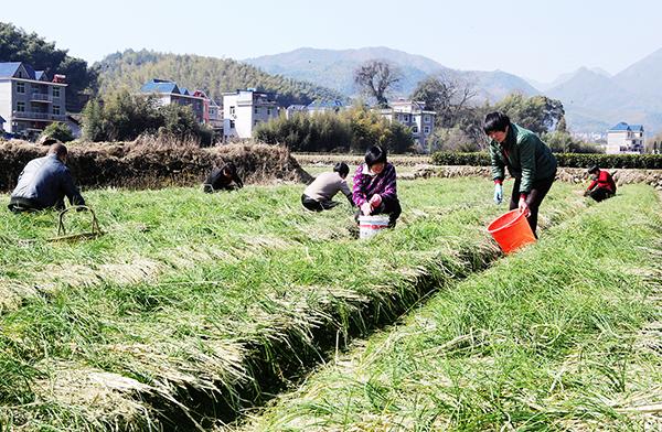 稻田轮作种植西红花
