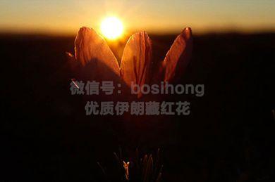 伊朗藏红花盛开迎接早晨的第一缕阳光