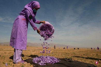 阿富汗西部城市赫拉特郊区花农采摘藏红花