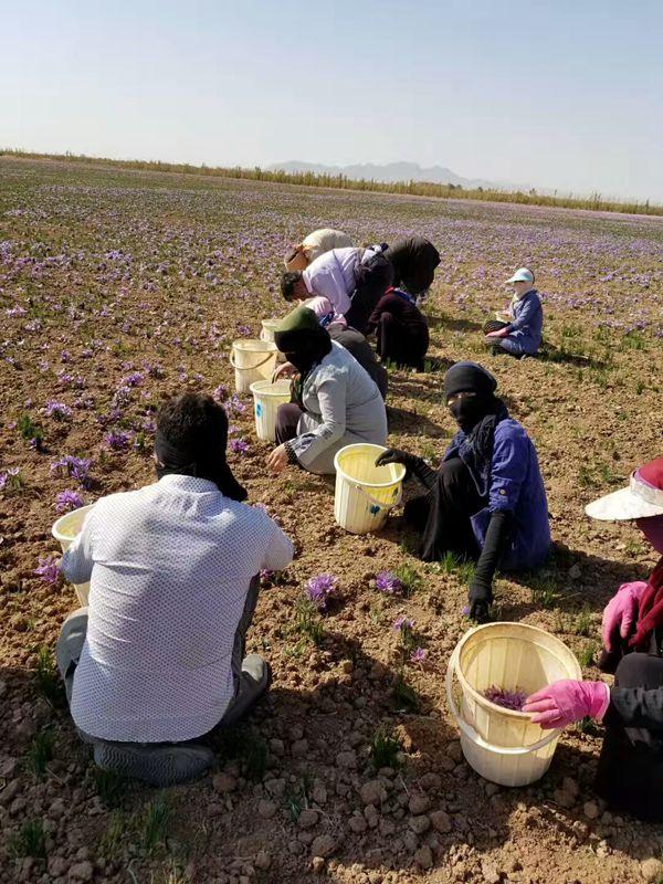 伊朗种植的藏红花
