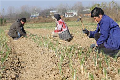河南信阳光山县花农种植藏红花