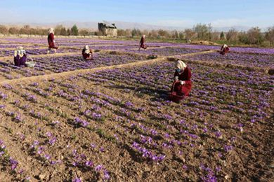 藏红花给饱受战火摧残的阿富汗带去希望