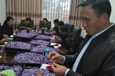 藏红花助力雪域高原贫困县脱贫
