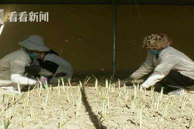 上海援疆助力江孜打造全国最大藏红花基地