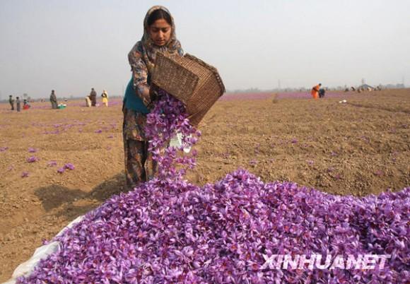 印度花农收获藏红花