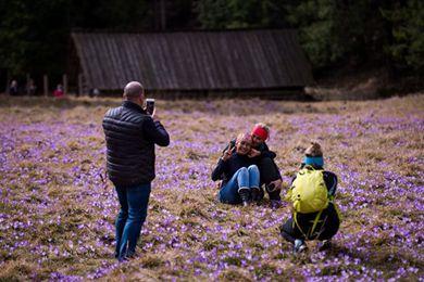 2018年波兰山谷番红花盛开宛如紫色地毯