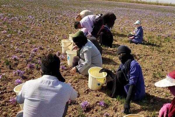 伊朗花农采摘藏红花