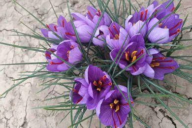 西红花是藏红花吗 藏红花和西红花一样吗
