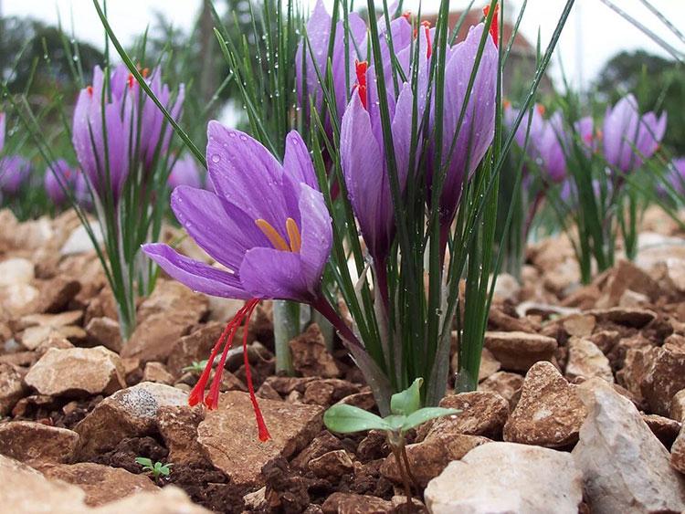 田间生长的藏红花植株
