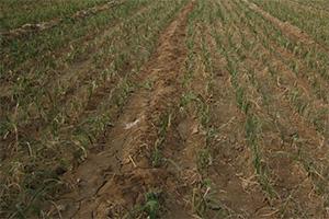 种植密度对藏红花生长的影响