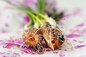 藏红花的应用价值和栽培中的常见病害