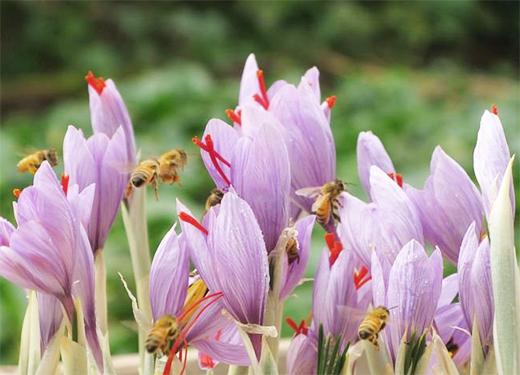 藏红花的功效与作用 藏红花的用法