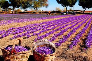全球各大藏红花产地花农采摘藏红花的图片