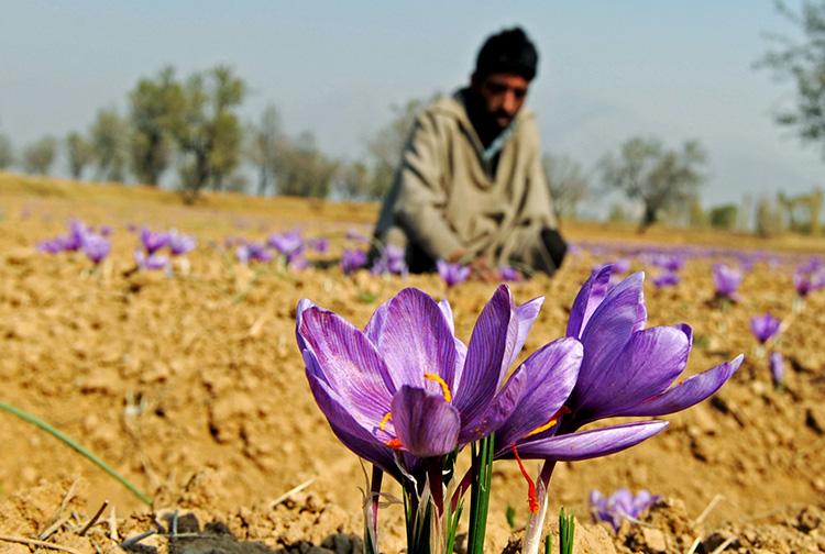 印度克什米尔花农采摘藏红花