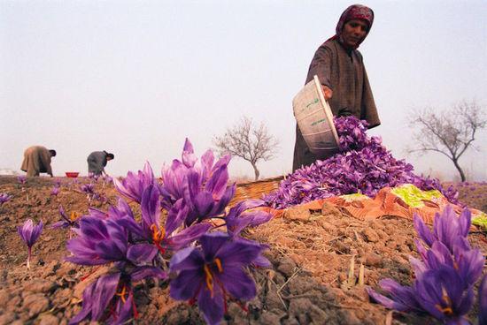 摩洛哥花农采摘藏红花