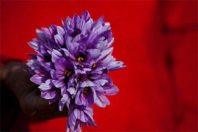 阿富汗巴米扬省试种藏红花取得成功