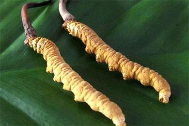 吃冬虫夏草九种疾病好得快 如何辨别冬虫夏草