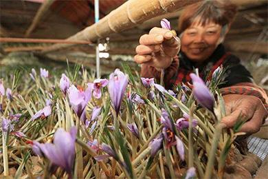 上海崇明成为我国最大藏红花种植地