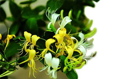 金银花有什么作用 金银花的食用方法