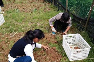 江西省上饶市万年县花农收获藏红花球茎