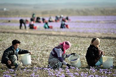 伊历2016年伊朗藏红花出口同比增长60%