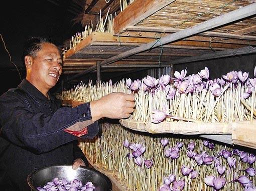 花农采摘藏红花