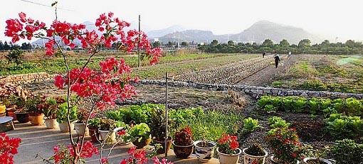 开花后将藏红花种植到大田