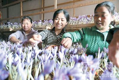 嘉興斜橋鎮祝東村種植的藏紅花盛開
