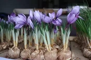 西红花室内开花