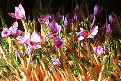 大沙种植户收获西红花