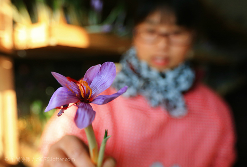 花農手拿一朵西紅花
