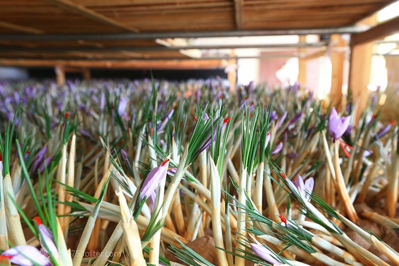 室內花房等待采摘的西紅花