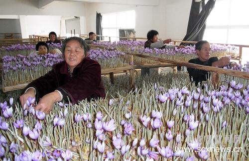 遂昌花农们在采摘西红花