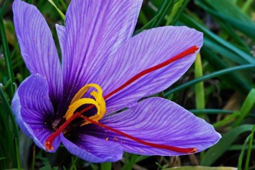 藏紅花花朵