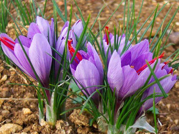 能治百病的神草藏紅花