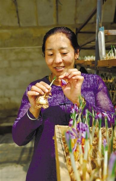 卓玛采摘藏红花