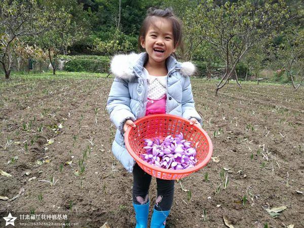 小姑娘摘的藏红花