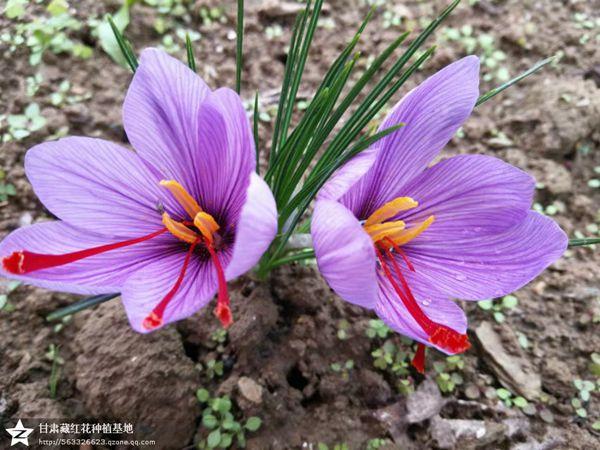 文县藏红花种植基地里的藏红花盛开