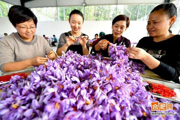2017年亳州花農采摘藏紅花