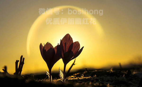 晨曦中兩朵盛開的藏紅花