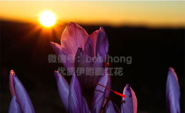 迎接第一縷陽光的藏紅花