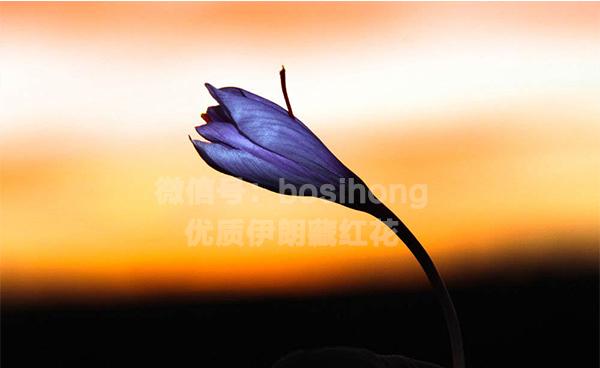 一朵藏红花