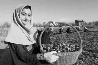 阿富汗花農采摘藏紅花