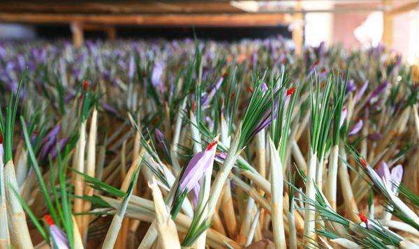 陜西澄城藏紅花