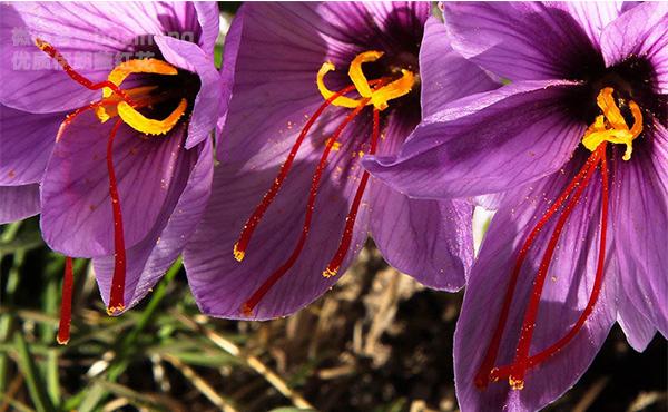 三朵盛开的藏红花