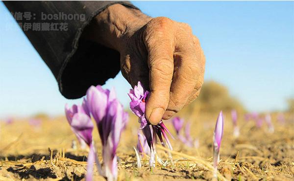 正在采摘藏红花