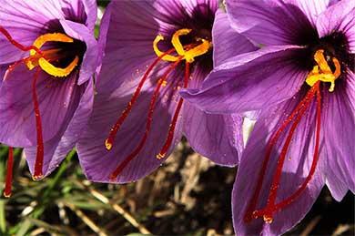 伊朗藏紅花盛開 花農采摘忙