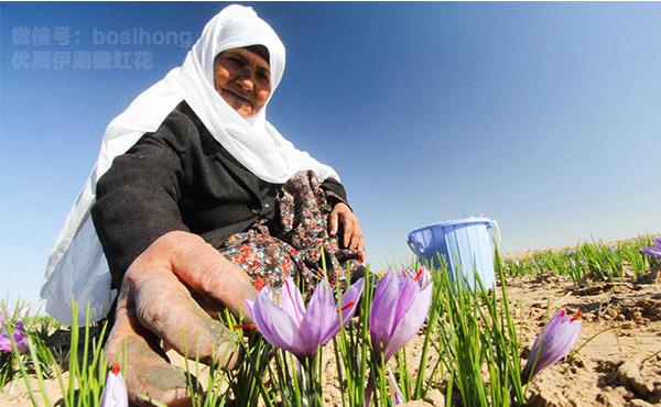 伊朗老妪采摘藏红花