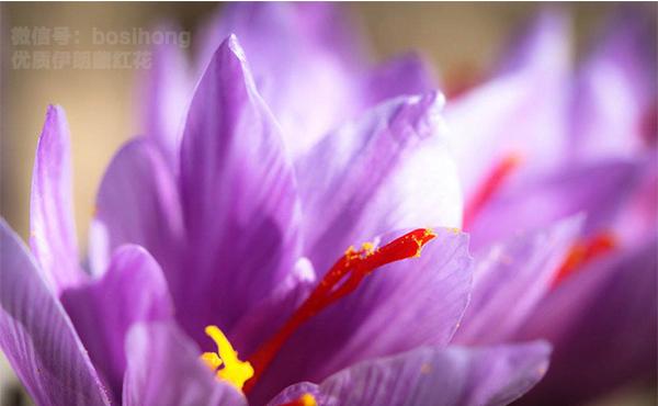 美丽的藏红花