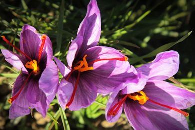 上海援藏藏红花产业扶贫结硕果